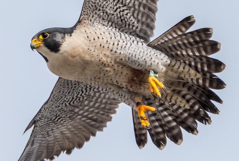 Peregrine Falcon in Flight 12/21/16