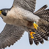 Peregrine Falcon in Flight 12/21/16