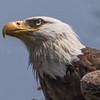 Bald Eagle 5/18/17