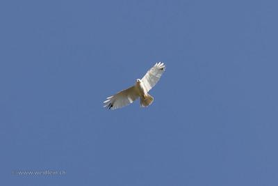 a verry rare, white common buzzard (leucism).