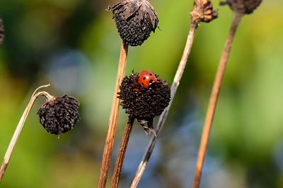 Six Spot Ladybird