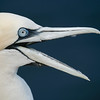Laughing Gannet