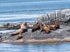 Steller's sea lions