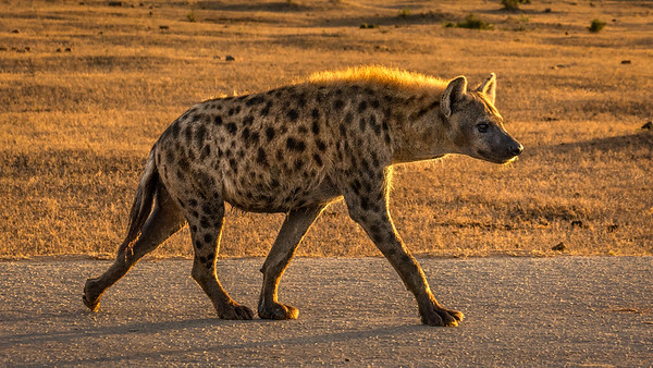 Spotted Hyena, Addo Elephant NP
