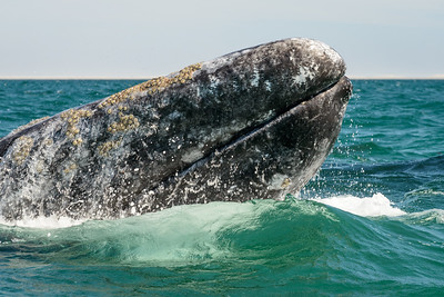 Gray whale breeching in Baja CA.