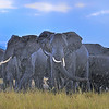 Elephants in the Rain, Amboseli National Park, Kenya, East Africa