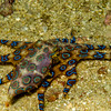 Reticulated Blue Ring Octopus