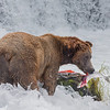 Huge Grizzly bear feasting on a fresh caught salmon in Brooks Camp Alaska