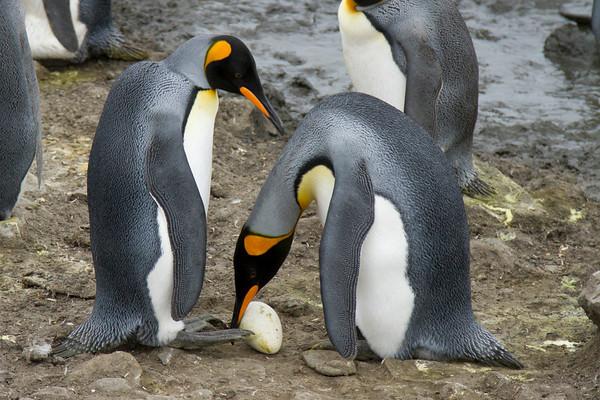 King penguin egg transfer