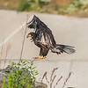 Juvenile Bald Eagle Landing 6/22/16