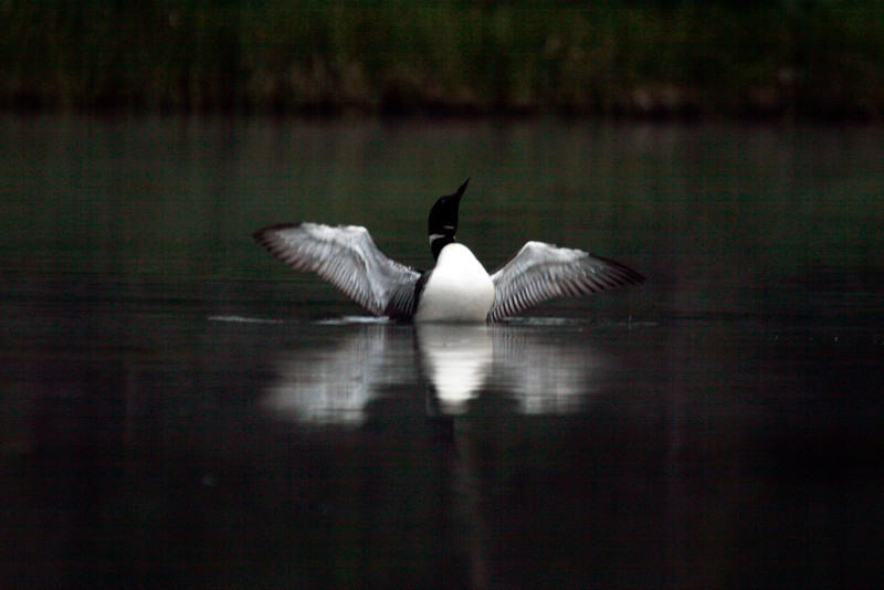 Loon - Upper Peninsula, Michigan