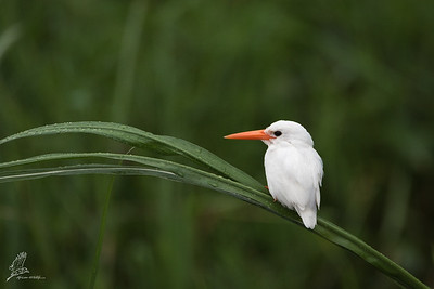Kingfisher, Malachite (Leucistic)