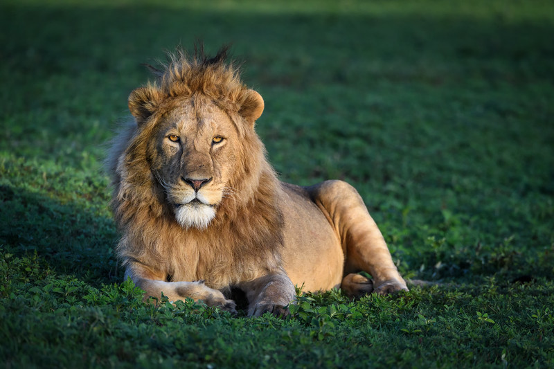 Young male lion in Ngorongoro Crater, Tanzania, East Africa
