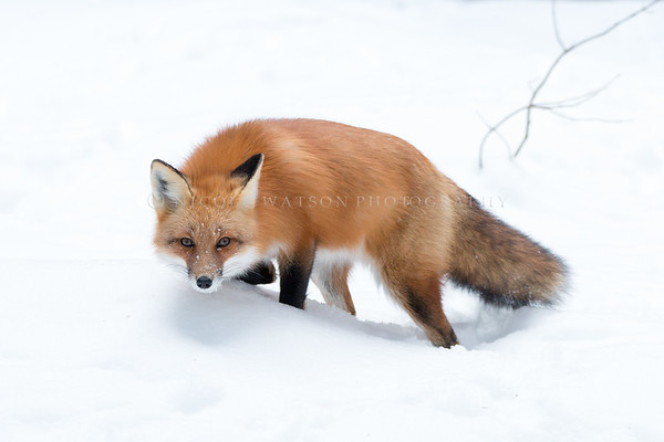 Red Fox - img 6039