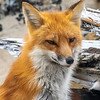 A Mama Red Fox 4/19/21