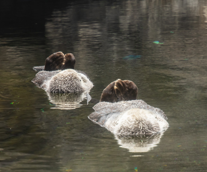 Two sleeping Sea Otters floating in water with back flippers showing