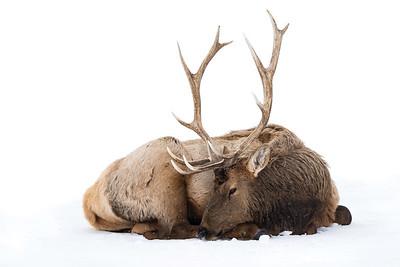 Long Winter Elk