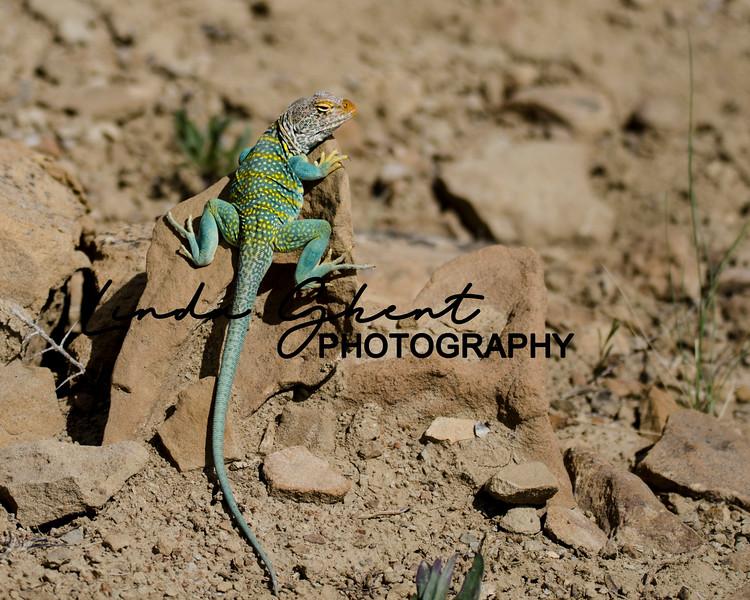 Little Book Cliffs Lizard
