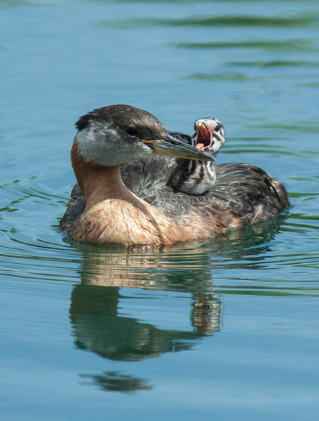 Red throated grebe