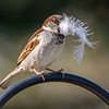 House Sparrow with Feather 4/17/16