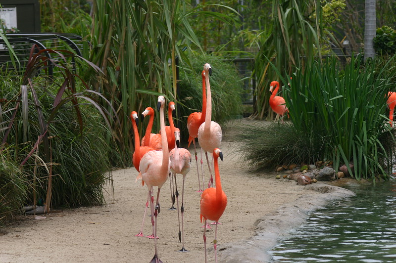 Flamingo walk