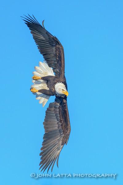 Banking Bald Eagle