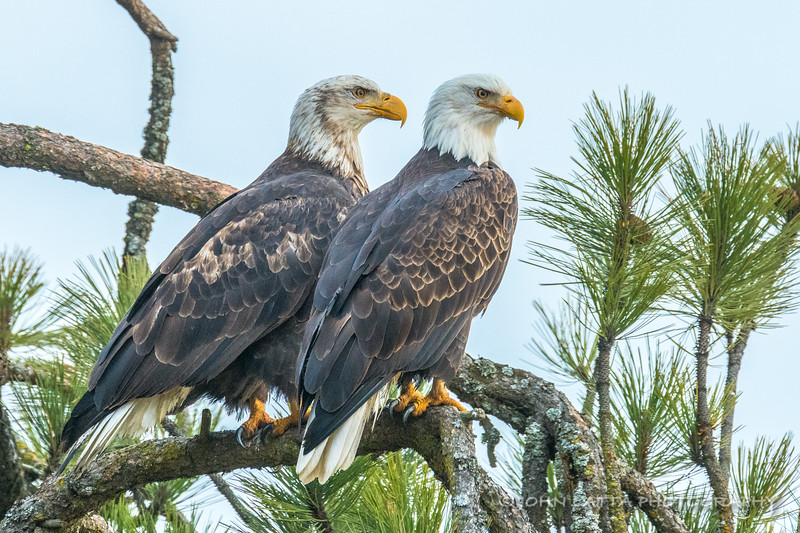 Adult and Immature Bald Eagles