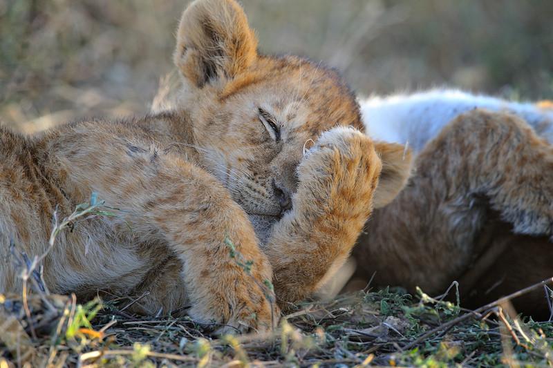 Lion Cubs Sleeping in Ndutu, Tanzania, East Africa