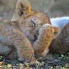 Lion Cubs Sleeping in Ndutu, Tanzania, East Africa