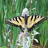 Swallowtail on Lambsear