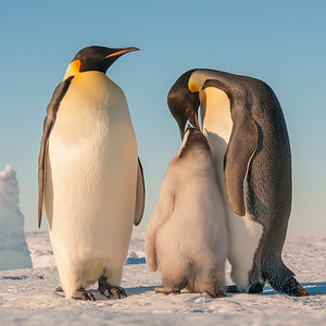 Chick feeding, Emperor penguins, Gould Bay, Antarctica