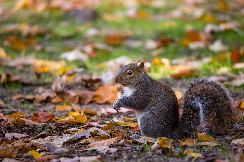 Hoffmaster Squirrel 2