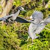 Yellow-Crowned Night Herons 5/25/16