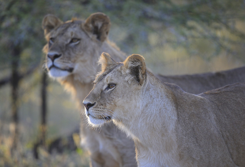 Two Female Lions, Ndutu Conservation Area, Tanzania, East Africa