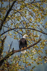 Kootenay Bald Eagle 1