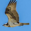 Osprey in Flight 4/20/16