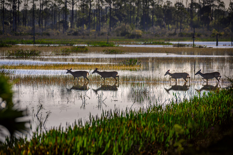A group of deer gingerly wade through the alligator-infested marsh at Babcock Wildlife Management Area near Punta Gorda, Florida