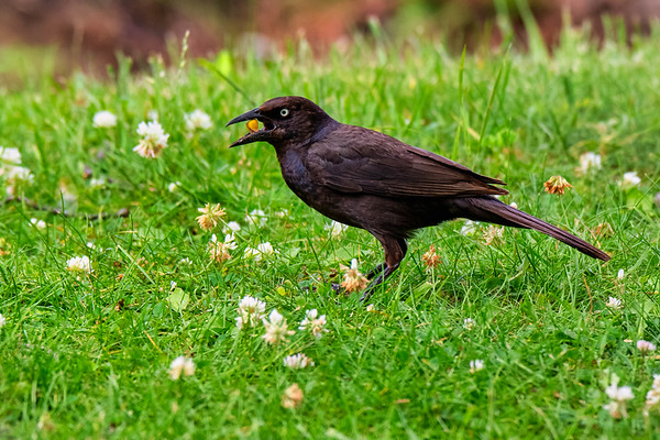Common grackle having a snack