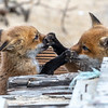 Red Fox Kits Playing 4/21/21