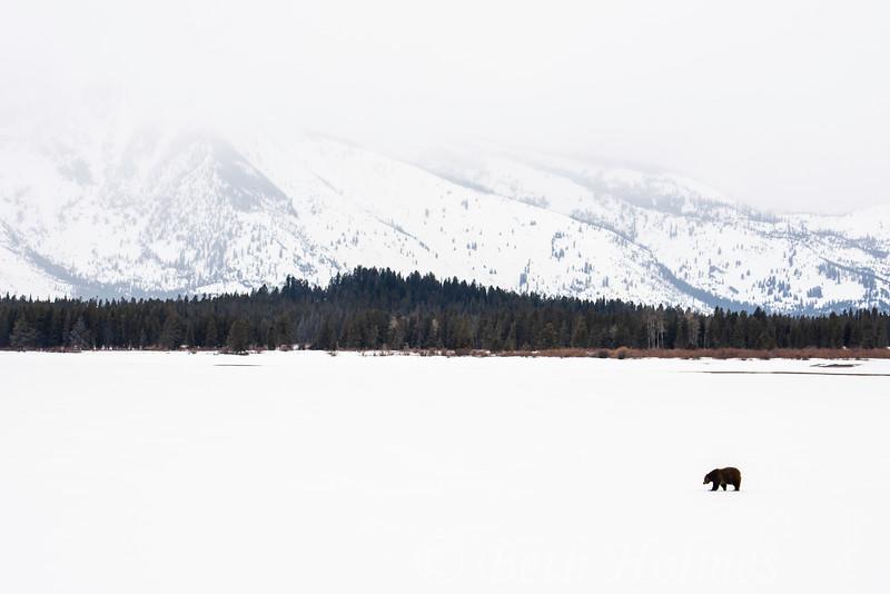 Bear on Jackson Lake