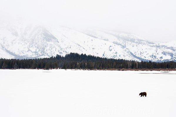 Bear on Jackson Lake