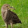 Black-Crowned Night Heron-Immature (Nycticorax nycticorax)