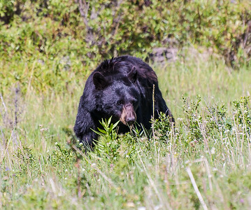 Black Bear, Male
