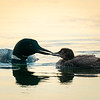Loon Feeding Chick