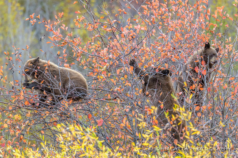 Three Black Bear Cubs Feeding on Black Hawthorn Berries