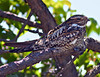 Common Nighthawk Resting
