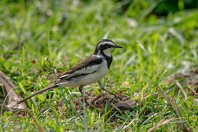 Wagtail, African Pied (spp. vidua)