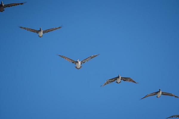 Brown Pelicans, San Francisco