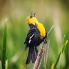 Yellow-headed Blackbird at Farmington Bay Bird Refuge