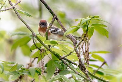 379- Bay-breasted Warbler